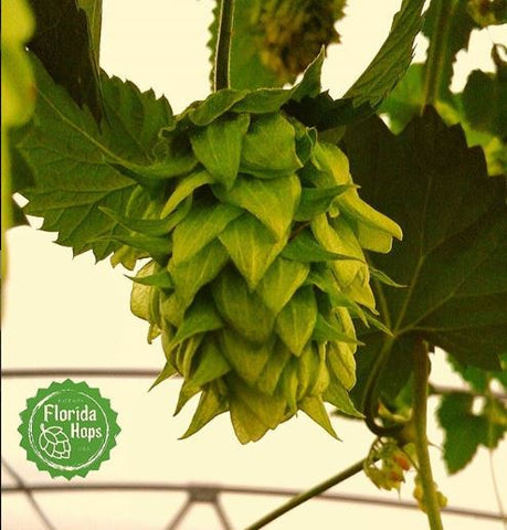 Chinook hop. Photo from @FloridaHops Instagram feed.