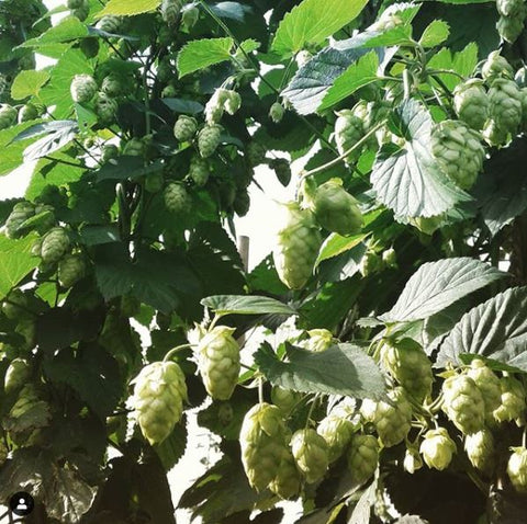 Cascade cones prior to the Christmas Harvest. Photo from @FloridaHops Instagram feed.