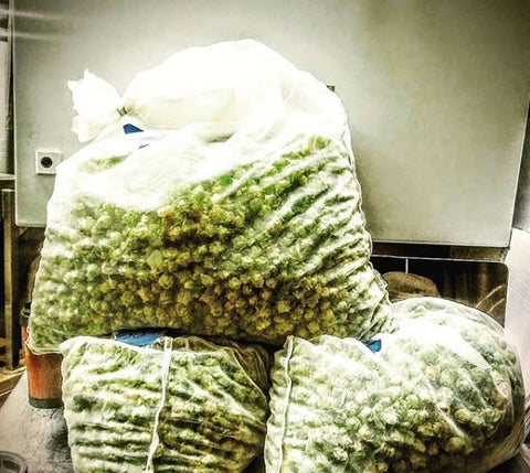 Fresh hops in bags, waiting to be added to beer. Photo from @FloridaHops Instagram feed.