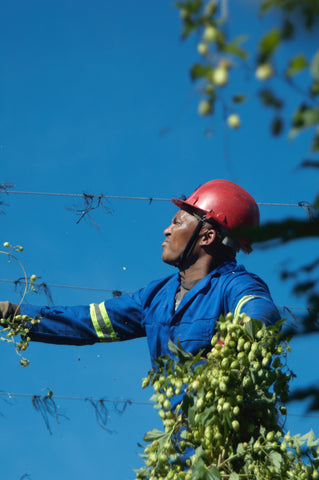 Worker at SAB Hop Farms, South Africa.