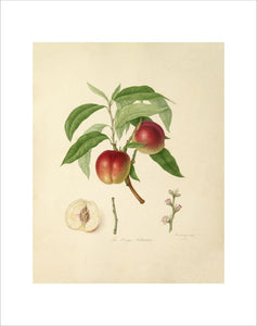 The Elruge Nectarine