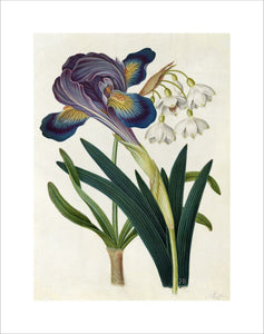 'Painted Iris and Summer Snowdrop'