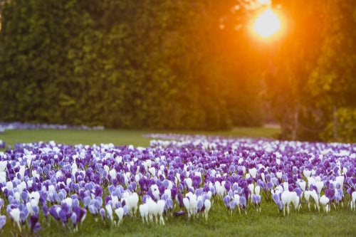 View across The Conifer Lawn with crocus