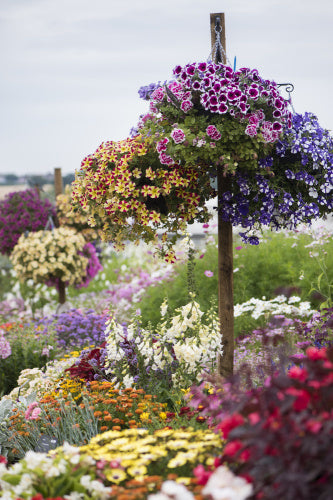 Floral Fantasia bedding display at RHS Garden Hyde Hal