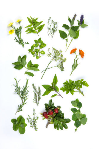 Herbs for infusion