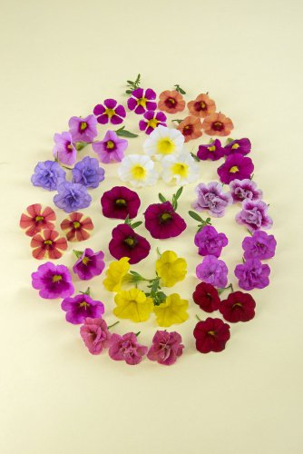 Plate of Calibrachoa
