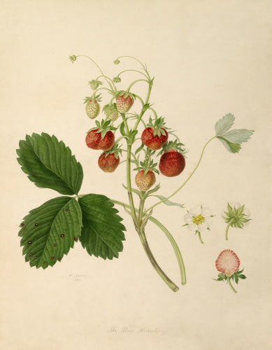 The Pine Strawberry