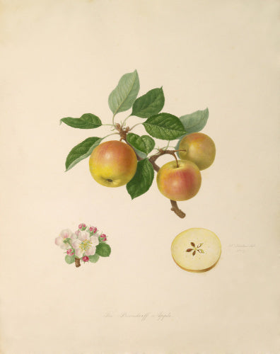 The Borsdorff Apple