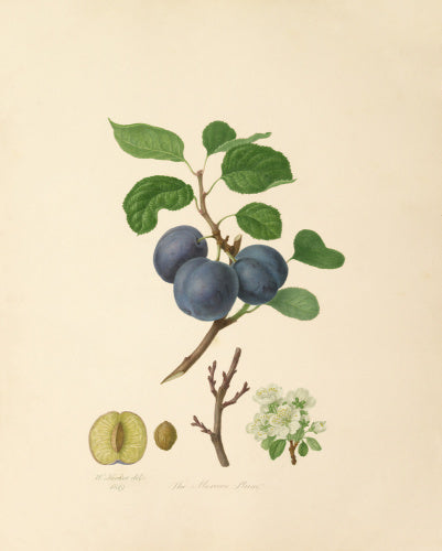 The Morocco Plum