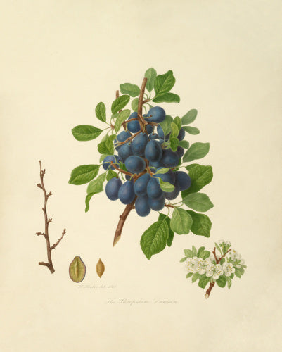 The Shropshire Damson
