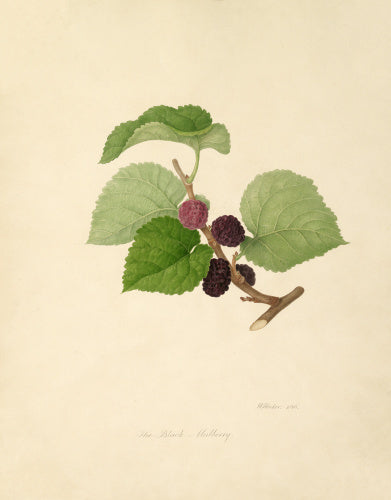 The Black Mulberry