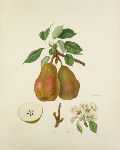 The Chaumontelle Pear