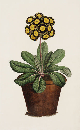 Willett's Duke of Cumberland, A Polyanthos