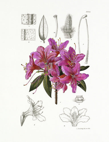 Rhododendron tricanthum