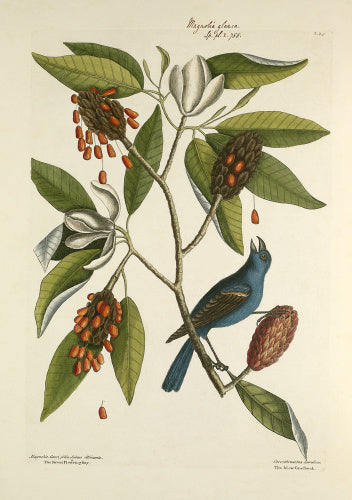 'Magnolia lauri folio subtus albicante, Sweet Flowering Bay / Coccothraustes coerulea, The Blew Grosbeak'