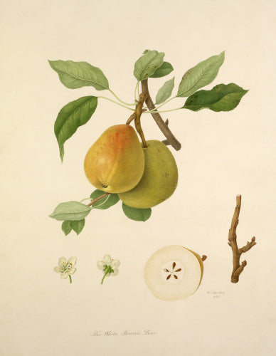 The White Buerrée Pear