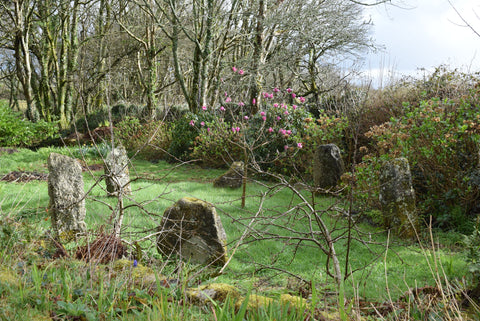 Magnolia Tree in a Cornish Stone Circle