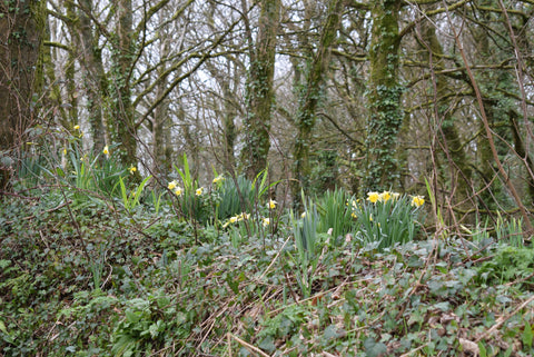 flowering daffodils in February Cornish cottage garden