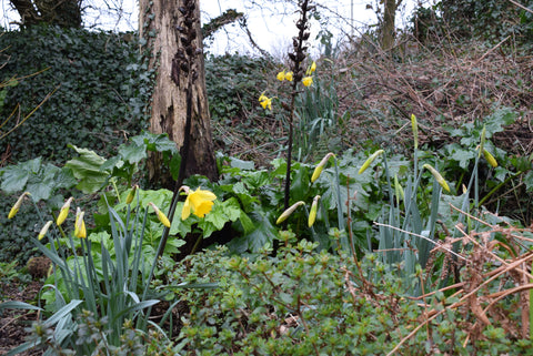Daffodils in bloom in Cornwall
