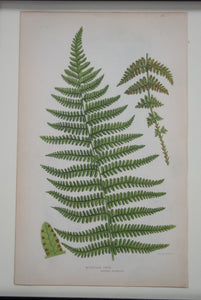 Framed Antique Botanical Prints of Ferns by Anne Pratt
