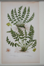 Load image into Gallery viewer, Framed Antique Botanical Prints of Ferns by Anne Pratt