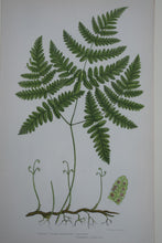 Load image into Gallery viewer, Framed Antique Botanical Prints of Ferns by Anne Pratt 1870