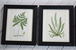 Framed Antique Botanical Prints of Ferns by Anne Pratt 1870