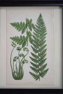 Antique Botanical Prints of Ferns Victorian set of 4