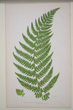 Load image into Gallery viewer, Antique Botanical Prints of Ferns Victorian set of 4