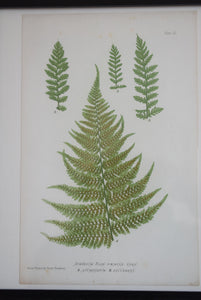 Antique Hand Coloured Framed Botanical Fern Prints