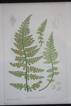 Load image into Gallery viewer, Antique Hand Coloured Framed Botanical Fern Prints