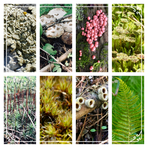 Card Set: Mosses, Lichens, Fungi, Slime Mold, and Non-Flowering Plants of the Inland Northwest