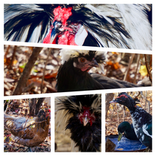 Load image into Gallery viewer, Card Set: Poultry