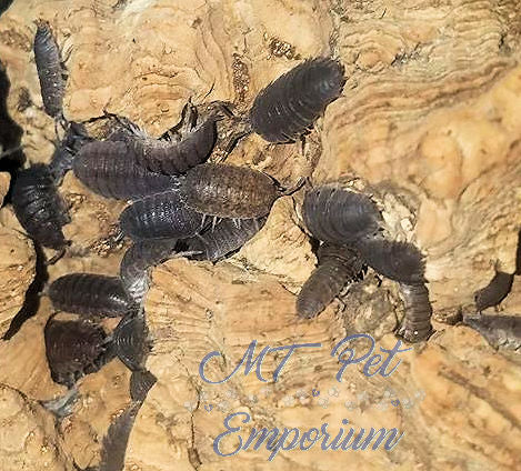 "Porcellio Scaber ""Common Gray"""