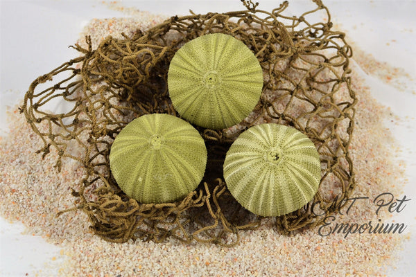 Green Sea Urchin - Hermit Crab Food