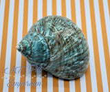 "1.30"" Opening - Extra Large Turbo Hermit Crab Shell"