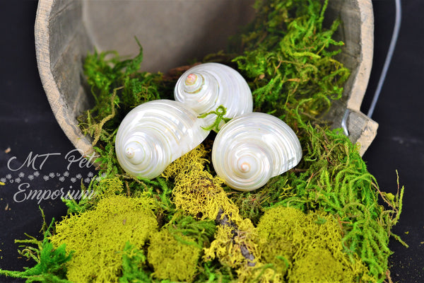 "Pearl Turbo Hermit Crab Shells Multiple Sizes 1"" and Over"