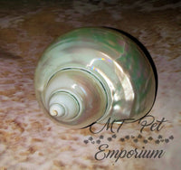"1.55"" Opening - Pearl Turbo Hermit Crab Shell"