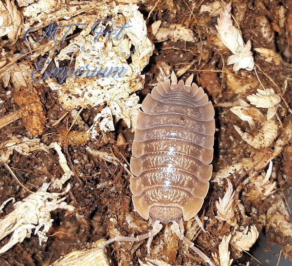 "Porcellio dilatatus ""Giant Canyon"""