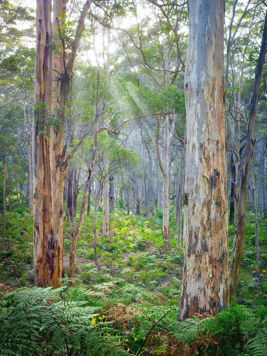 Boranup Forest Margaret River Western Australia | Christian Fletcher Photo Images | Landscape Photography Australia