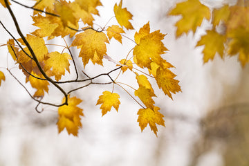 Yellow Autumn Leaves, Balingup, South Western Australia | Christian Fletcher Photo Images | Landscape Photography Australia