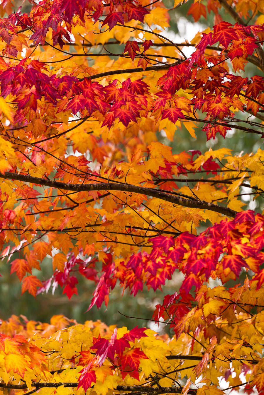 The burnt reds, oranges and yellows leaves of autumn.