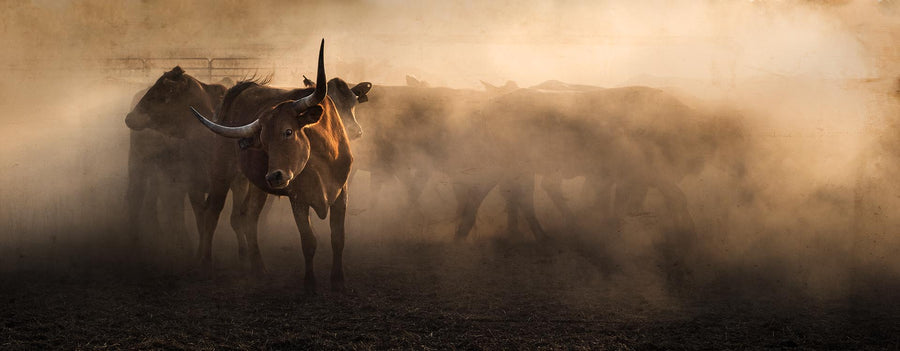 Cattle, Home Valley Station, Kimberley, North Western Australia | Christian Fletcher Photo Images | Landscape Photography Australia