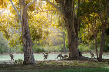 Kangaroos, Dunsborough, South Western Australia | Christian Fletcher Photo Images | Landscape Photography Australia