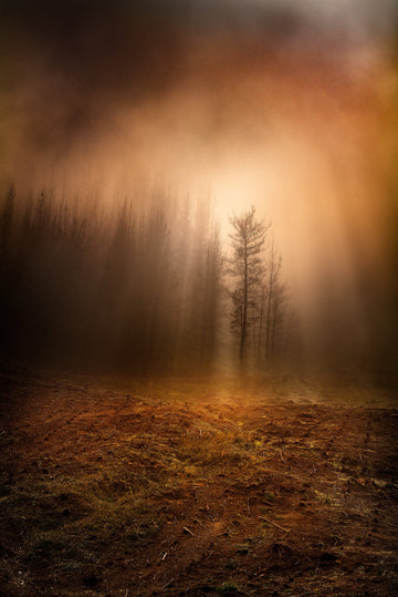 Pine Forest, Nannup, South Western Australia, LTD | Christian Fletcher Photo Images | Landscape Photography Australia
