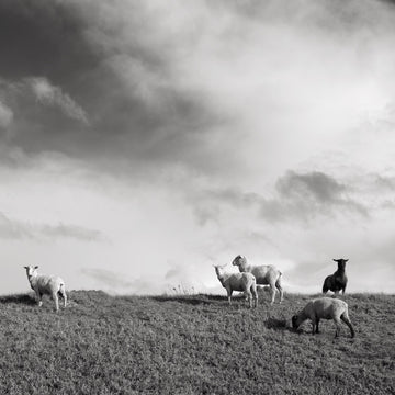 Sheep | Christian Fletcher Photo Images | Landscape Photography Australia