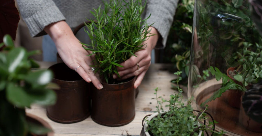planting rosemary in pot