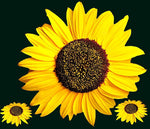 Full Square Drill Plant Sunflower 5D Diy Special Diamond Painting Kits NA0055