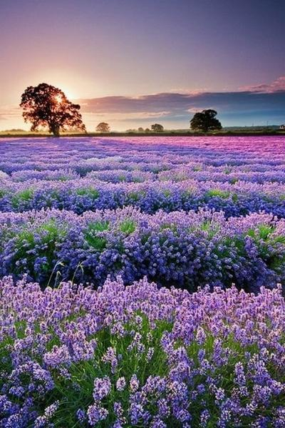 Cheap Hot Sale Lavender Fields 5D Diy Cross Stitch Diamond Painting Kits NA00360