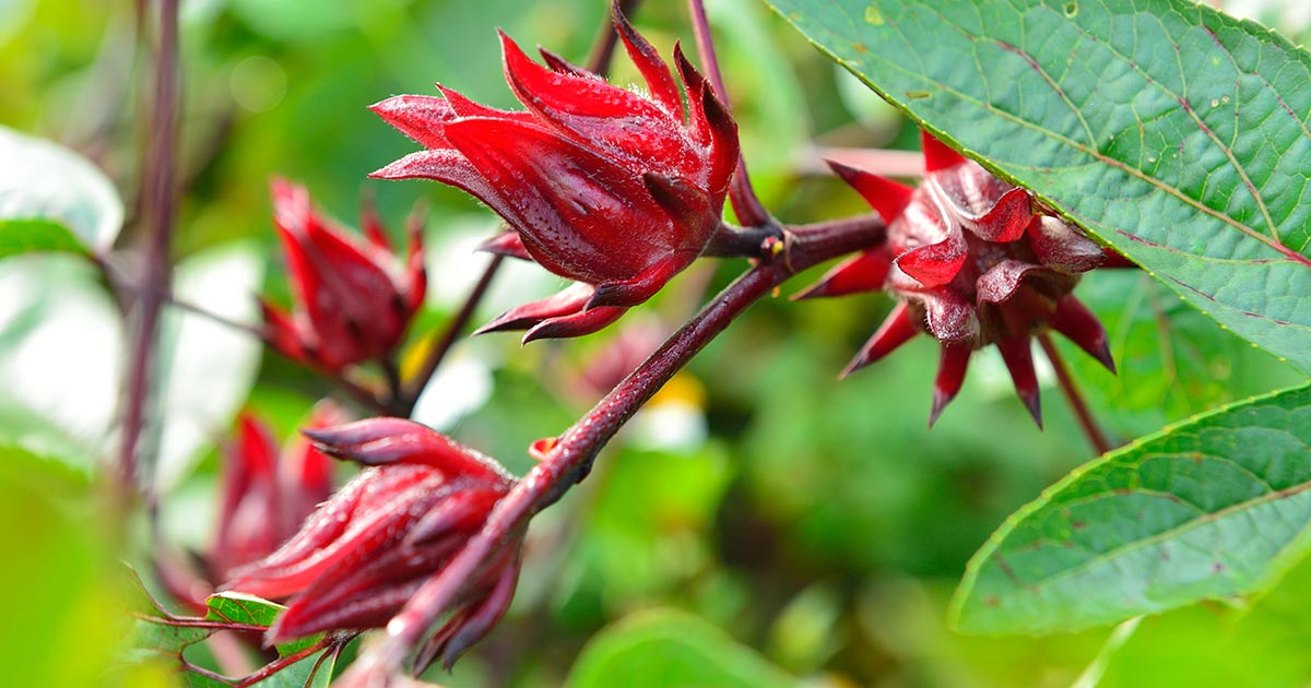 The Surprising Health Benefits Of Hibiscus Gaia Herbs